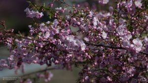 Cherry blossom tree in Munich botanical garden 16:9