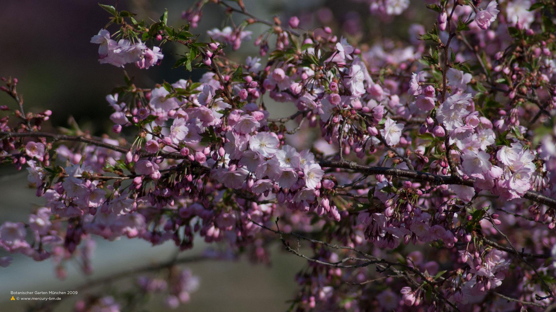Kirschblüten-Baum im Botanischen Garten München