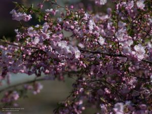 Cherry blossom tree in Munich botanical garden 4:3